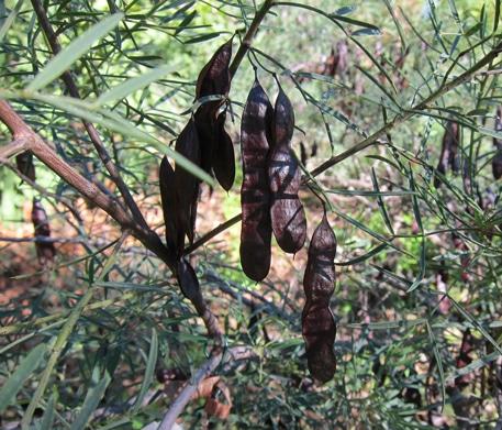 Gousses de Senna artemisoides subsp. sturtii