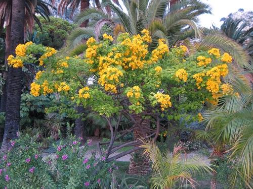 Senna bicapsularis - Jardin Maria Serena à Menton (06)