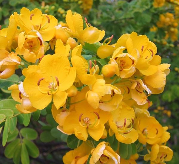 Inflorescences Senna bicapsularis