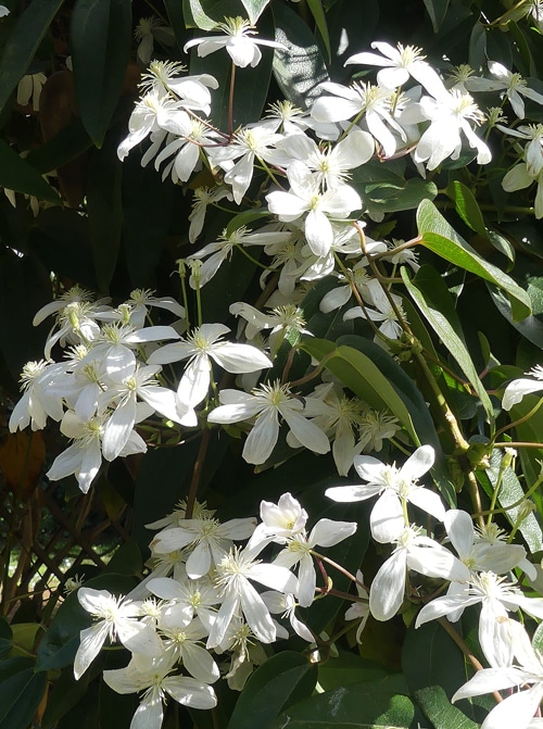 fleurs de Clematis armandii