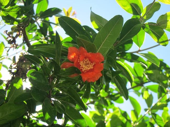 fleur de grenadier - Punica granatum