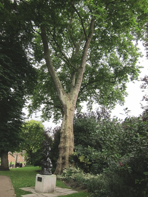 Plane tree - Holland Park London