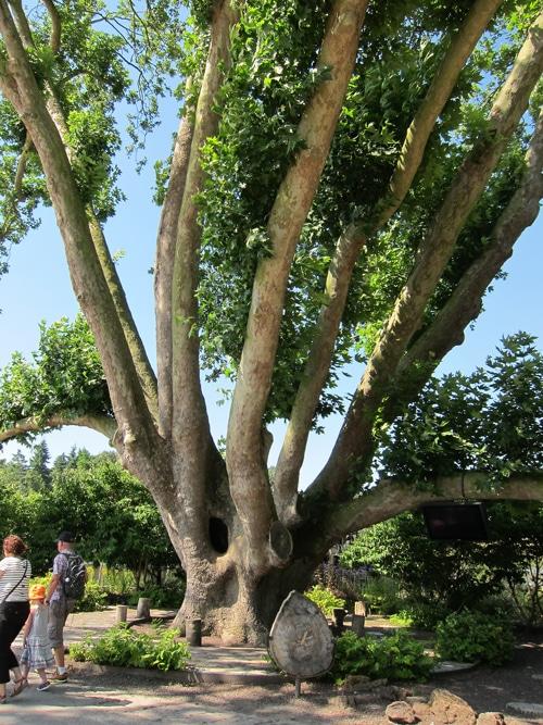 Platane au parc de Pairi Daiza en Belgique