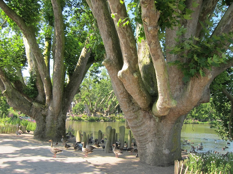 Platanus - Parc de Pairi Daiza en Belgique