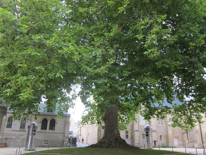 Platane 'arbre de la liberté' à Bayeux