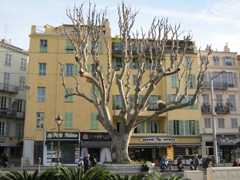 Platane taillé à Nice (06)