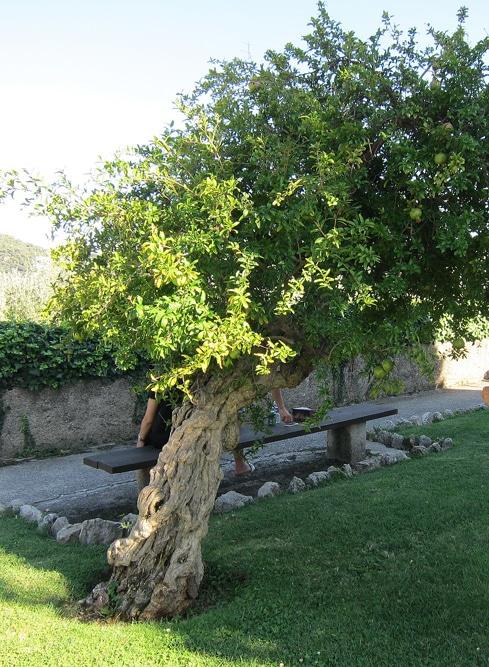 Punica granatum - Jardin de Cimiez à Nice