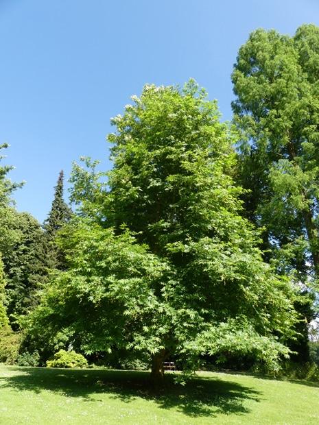 Platanus orientalis 'Minaret' - Jardin botanique de Meise en Belgique