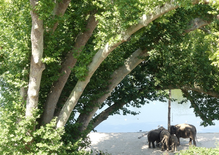 Branches charpentières du platane