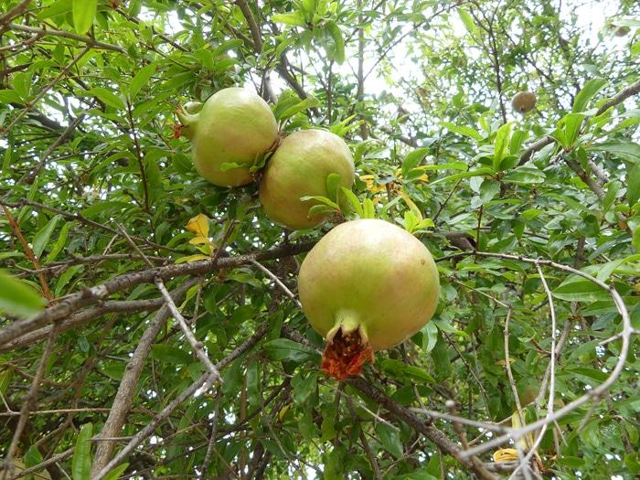 Fruit du grenadier