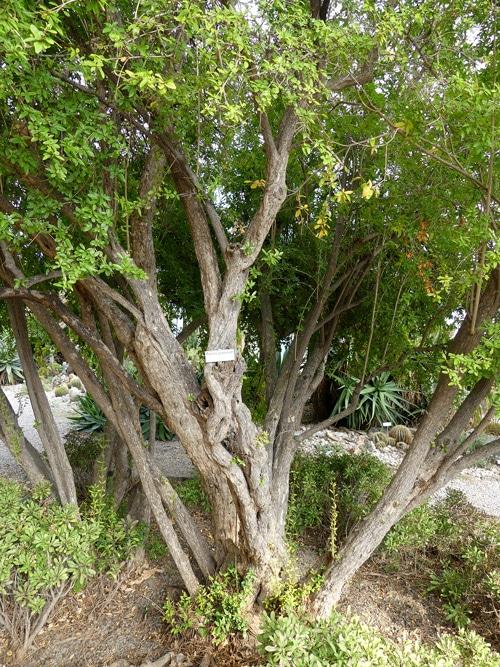 Punica granatum - Jardin botanique de Hanbury - Italie