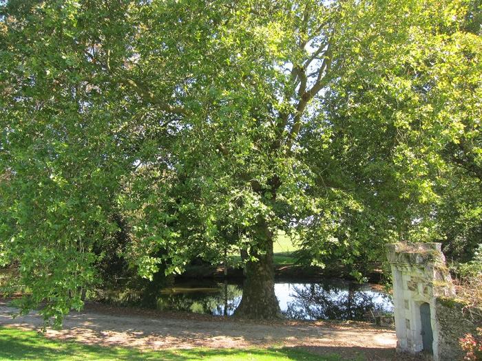 Platane du château des pins à Champtocé sur Loire (49)
