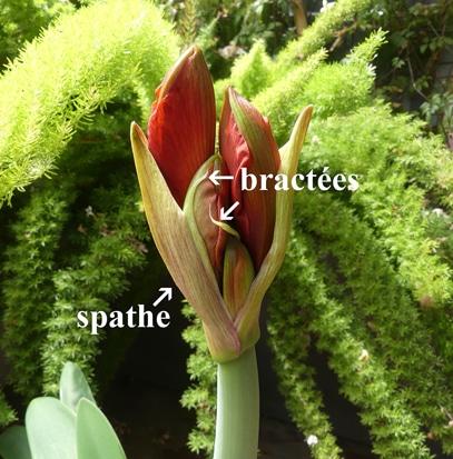 Bractées d'amaryllis