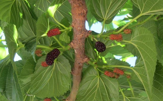 Fruits du mûrier - Morus